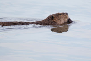 Beaver snacking while swimming
