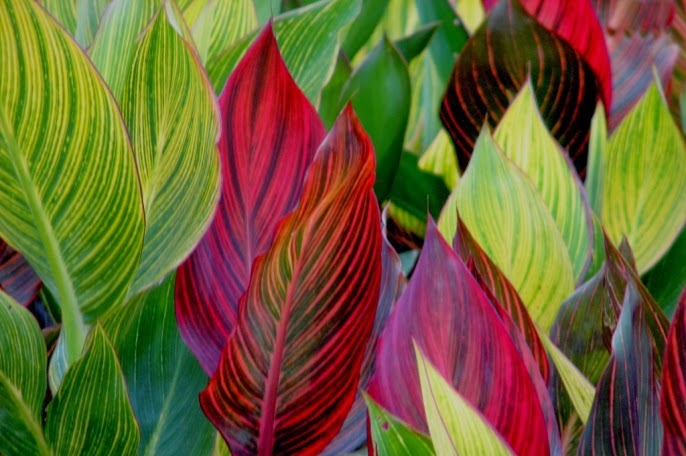 Colour mix of canna leaves