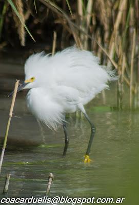 "alt=""garcita blanca,Egretta thula,aves de Mendoza,garza de Mendoza"""