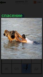 из воды собака спасает мужчину, тащит за собой