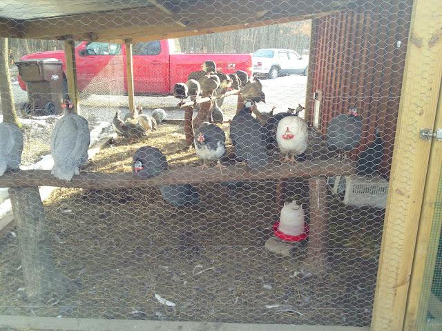 guinea coop