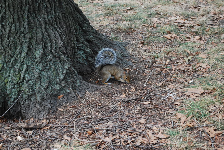 new york squirrel central park
