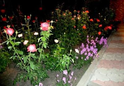 запах роз ночью
