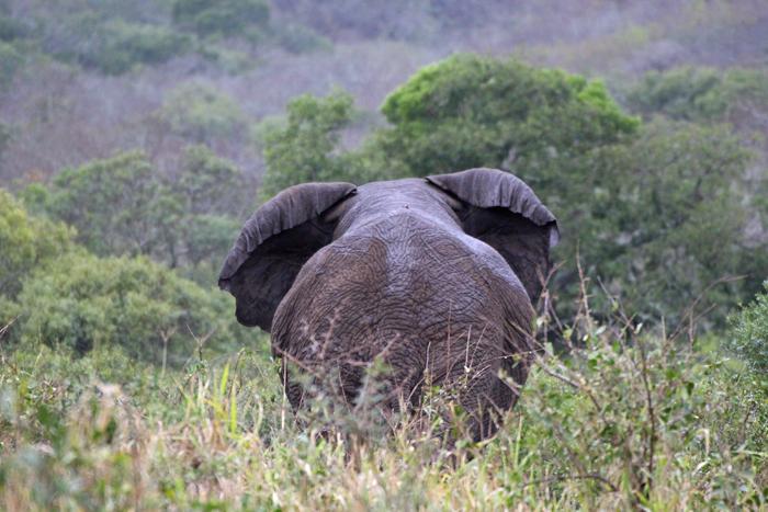 Elefant im andbeyond Phinda Privat Game Reserve
