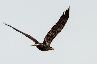 Juvenile Bald Eagle, Chatfield State Park