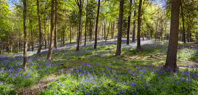 Bluebells and trees in Warwickshire By Martyn Ferry Photography