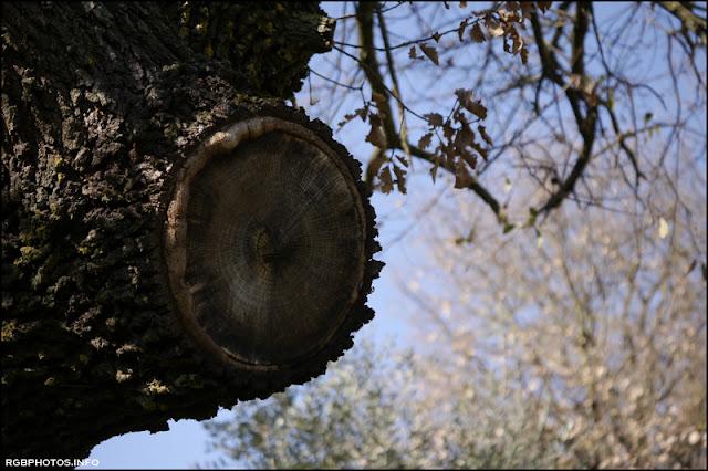 Tronco di quercia fotografato con il Panasonic  G X Vario 45-175 mm