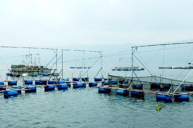 Budidaya Ikan Tuna di KJA (Keramba Jaring Apung)