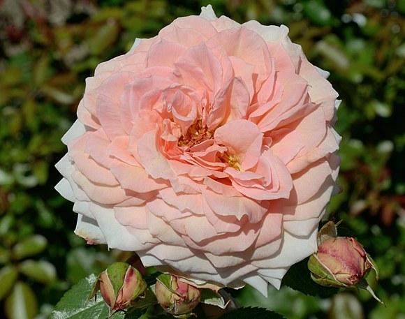 Barock сорт розы Тантау купить саженцы Минск