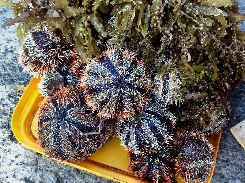 Swaki (collector urchin), Maasin market