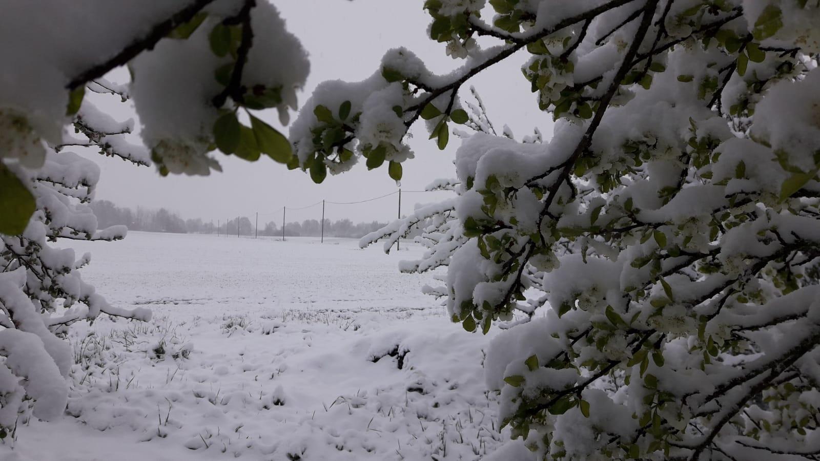 Sniegs klāj lauku un koka zaru ar zaļām lapām