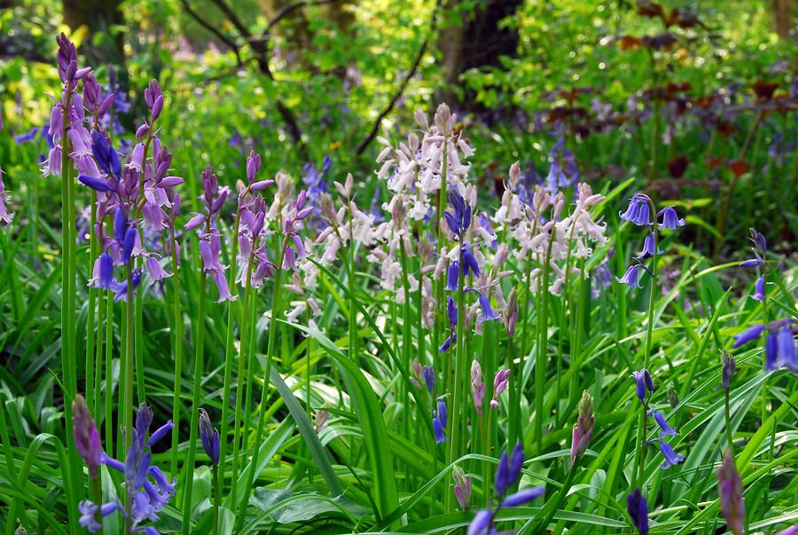 Flores de Jacintos de campo (spanish bluebell) en azul, violeta y blanco
