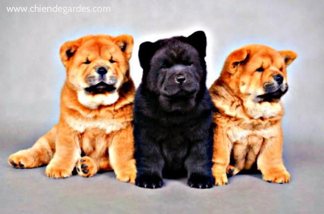 CHow-CHow chien de garde