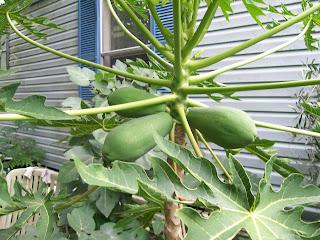 ¿Cómo sembrar papaya?