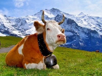 Beautiful Swiss Cow