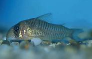 Jenis Ikan Corydoras griseus