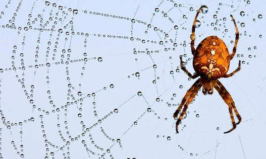 European garden spider (Araneus diadematus) whose web is a 'consummate piece of engineering'