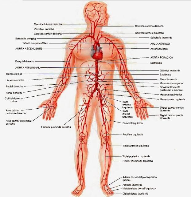 AMIGOS PARA SIEMPRE: Artículos de anatomía humana general