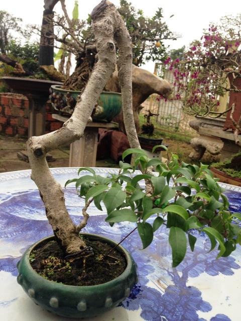 """Thế đứng """"khổ sở"""" của một cây sanh mini được tạo tác bonsai."""