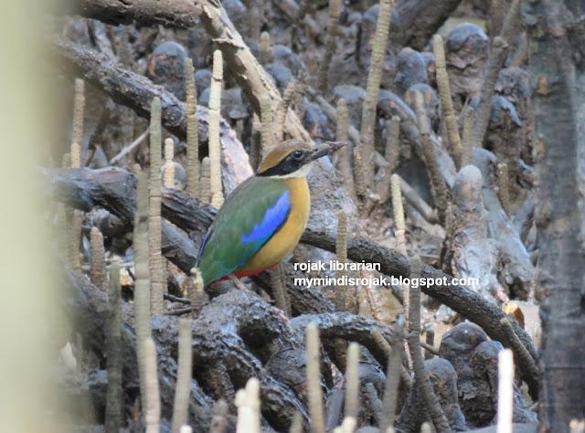 Mangrove Pitta in Ubin
