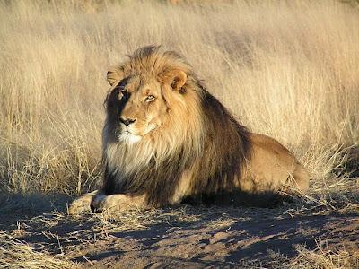 สัตว์สุดยอดคุณพ่อ, สิงโต