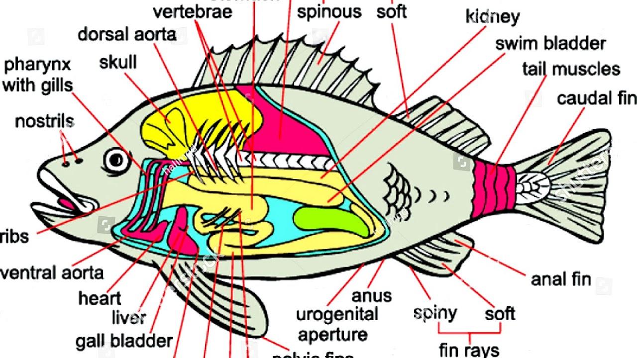 fish anatomy diagram fish anatomy wiring diagram schematic fish anatomy diagram to label [ 1280 x 720 Pixel ]