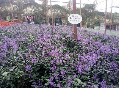 Cameron Lavender Garden Cameron Highlands