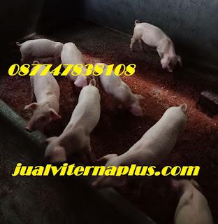 cara sukses ternak babi,bibit babi, cara memelihara babi, cara merawat babi, cara beternak babi, suplemen babi, ternak babi, vitamin babi, kandang babi