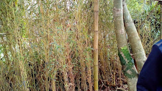 Jual Bambu Hias,Bambu Klisik