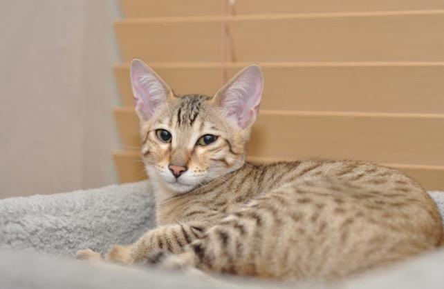 8 Baka Kucing Paling Mahal Di Dunia