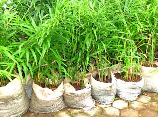 tanaman obat herbal jahe