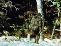 Bigfoot Diajukan Sebagai 'Spesies Langka'