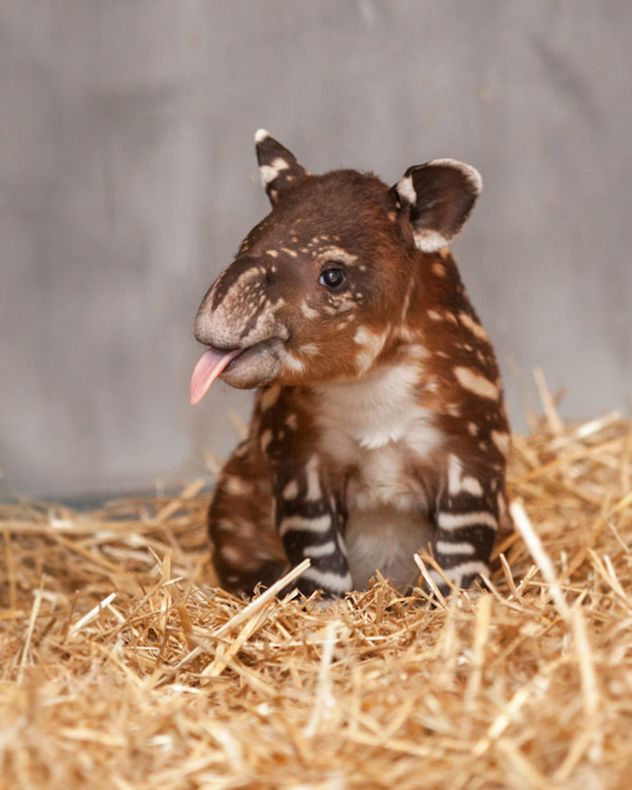 #6 Baby Tapir - 10 Rare Animal Babies You've Probably Never Seen Before