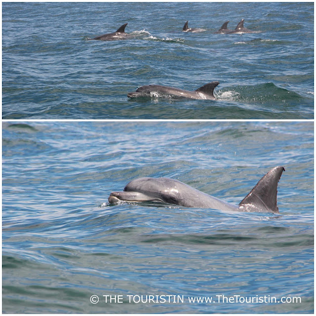 A pod of Indian Ocean Bottlenose Dolphins in Knysna in South Africa.