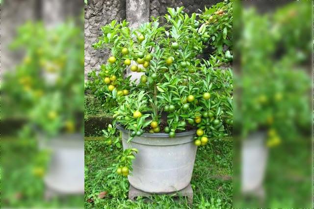 Tambulapot cara tepat mengelola lahan sempit menjadi perkebunan