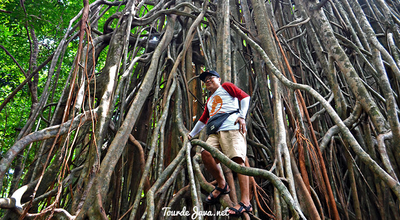 pohon beringin kiara atau ara di pulau peucang ujung kulon