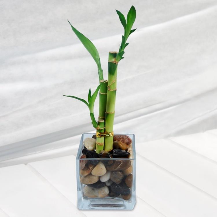 bambou en pot et lucky bambou pousse entretien et. Black Bedroom Furniture Sets. Home Design Ideas