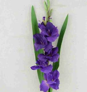 Γλαδίολος Gladiolus