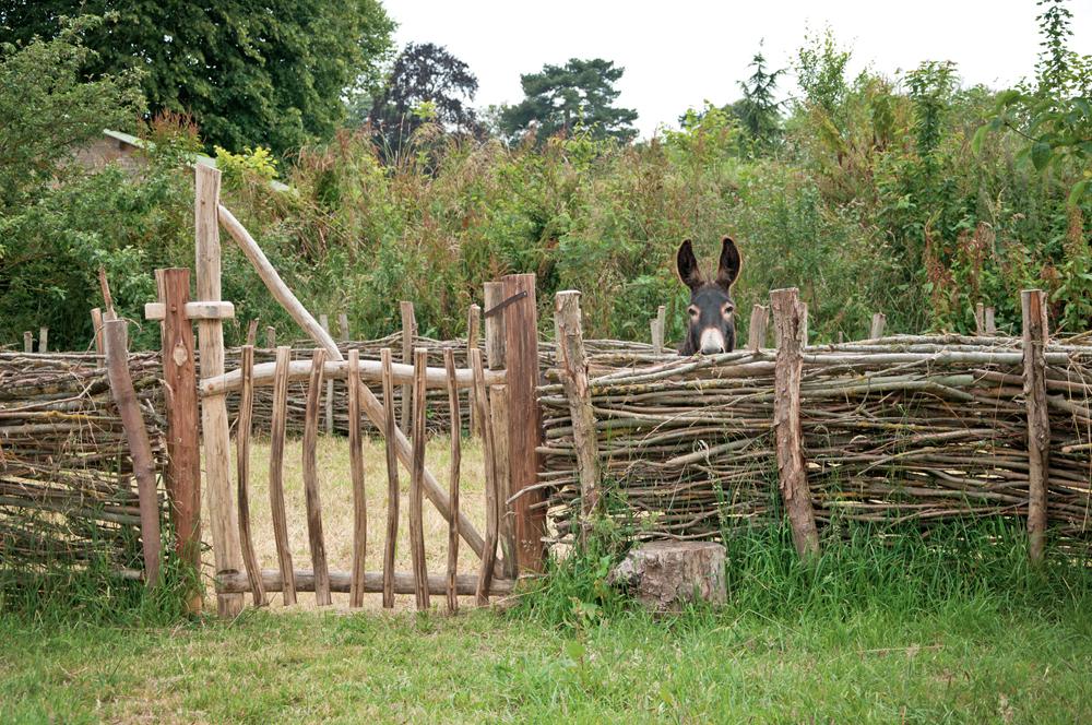 Un des ânes du parc historique d'Ornavik à Caen
