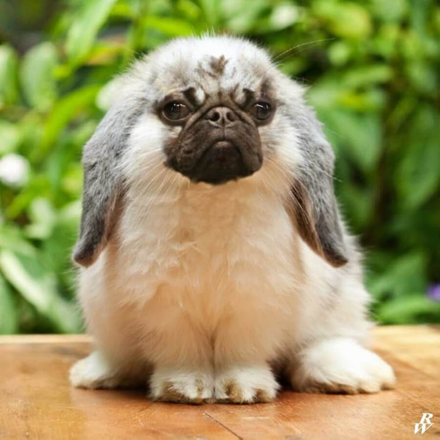 12-Pug-and-Rabbit-Rob-Westdorp-www-designstack-co