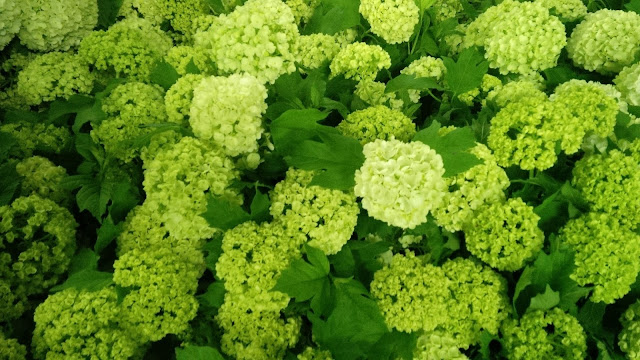 Sun Valley Viburnum snowballs greenery