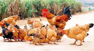 Bài văn tả con gà trống nhà em