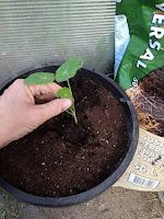 colocar la planta en el agujero