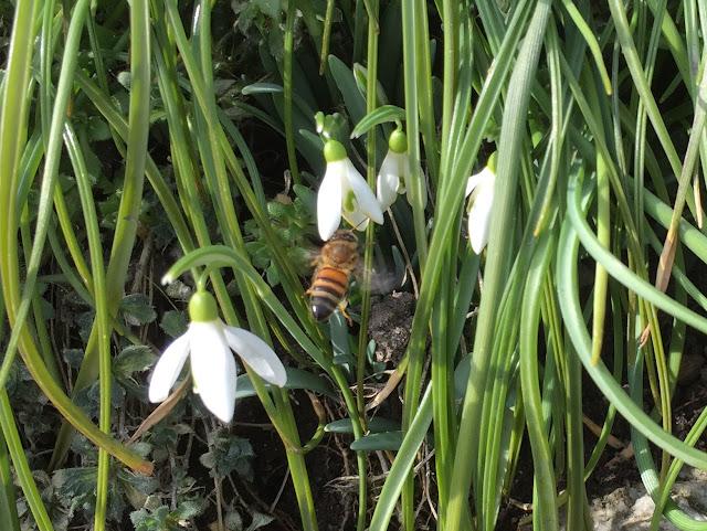 Bienen auf Schneeglöckchen