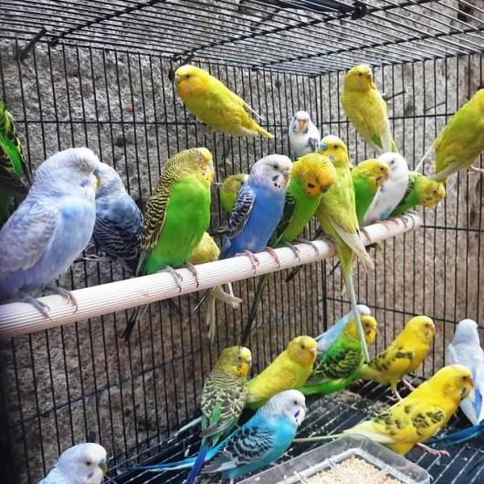 Burung Parkit Ternakan Penambah Asri Pekarangan Rumah