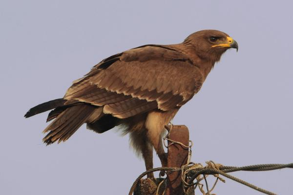 Fantastica Animal: Indian Spotted Eagle a Big South Asian Bird