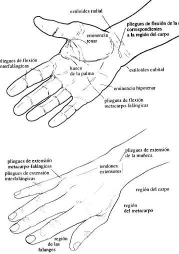 Dibujo de la mano señalando sus partes de ambos lados