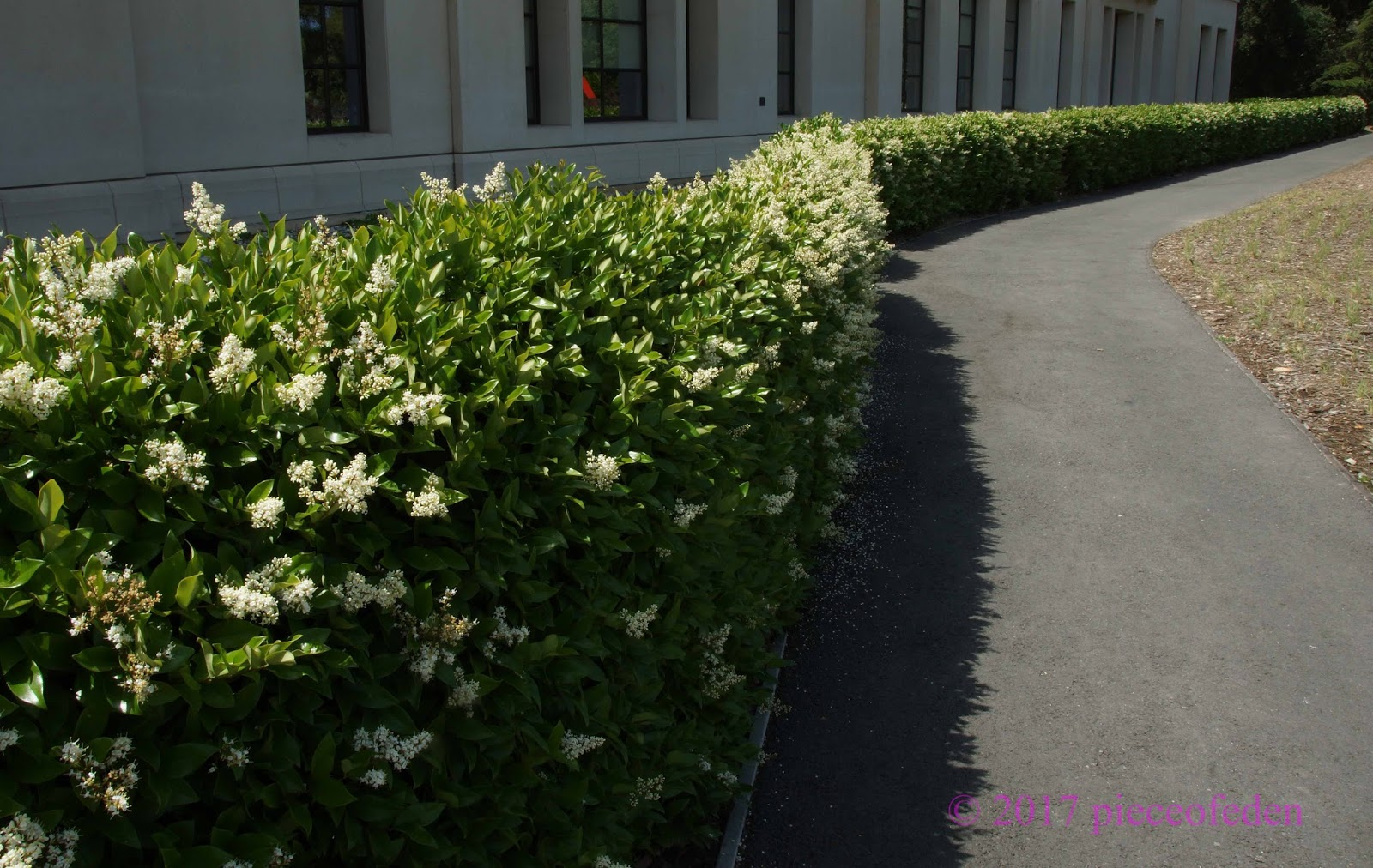 Tall Narrow California Ligustrum Privet Hedge