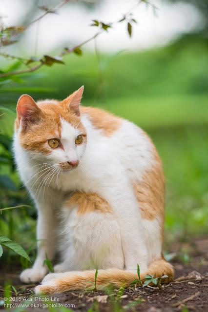 警戒している茶白の猫