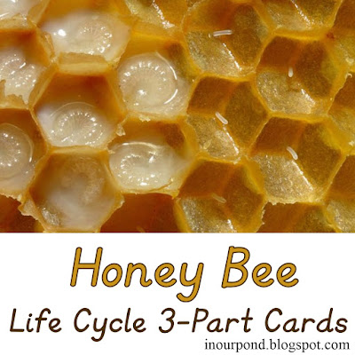 FREE Bee Life Cycle Card with Real Images